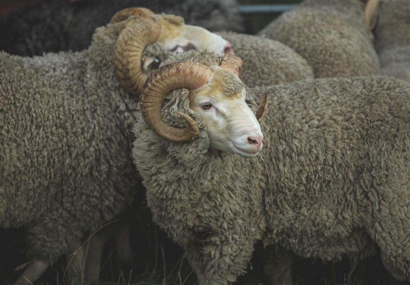 picture of merino rams Herne clothing